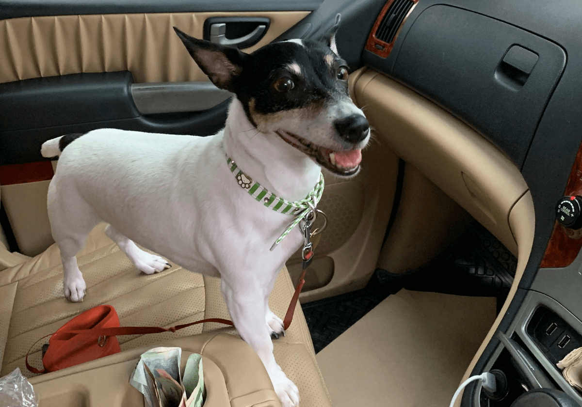 jack russell terrier ready, for the road trip to bangkok in our pet taxi by Relo4Paws